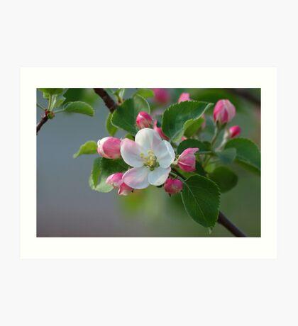 Dwarf Apple Tree Blossom Art Print