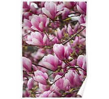 magnolia blooming  on tree Poster