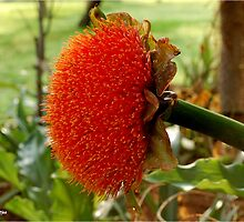 SCADOXUS puniceus – Blood Lily – Rooikwas by Magaret Meintjes