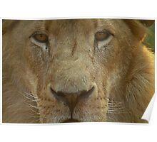 Lion portrait up close Poster