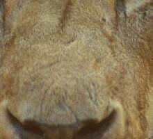Lion portrait up close Sticker