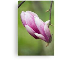 magnolia blooming  on tree Metal Print