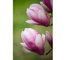 magnolia blooming  on tree Photographic Print