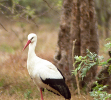 White stork  Sticker
