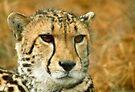 Cheetah portrait by GrahamCSmith