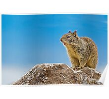 California Ground Squirrel, (Spermophilus beecheyi) Poster