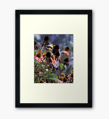 Gold Finch on My Echinacea  Framed Print