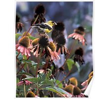 Gold Finch on My Echinacea  Poster