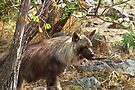 Brown Hyena, South Africa by GrahamCSmith