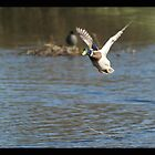 Flying Duck by davesphotographics