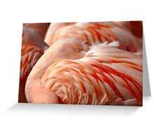 Chilean Flamingos (P. chilensis) Greeting Card