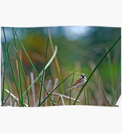 Sparrow (Passer domesticus)  Poster