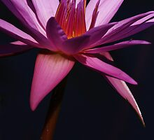 Water Lily Close Up by John Absher