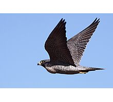 Peregrine Falcon Photographic Print