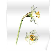 White & Yellow Daffodil Poster