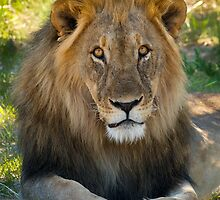 Lion - Etosha National Park - Namibia by Lisa Germany