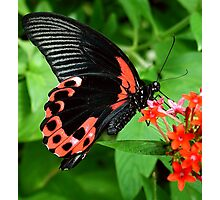 Scarlet Swallow Tail Photographic Print
