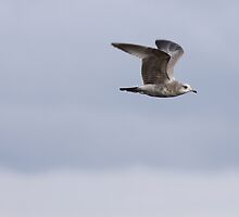 First Winter Mew Gull in Flight by Jillian Johnston