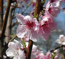 Apricot blossoms by JDNarts
