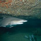 Grey Nurse Shark by Andrew Trevor-Jones