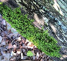 Moss grows on a rolling wood by icarianMind
