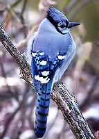 Blue Jay by Karen Scrimes