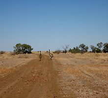 A pair of emus run down the road, Winton, Qld. Australia by Marilyn Baldey