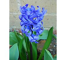 Beautiful Blue Hyacinth in Church Grounds Photographic Print