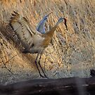Sandhill Crane Mating Dance by Deb Fedeler
