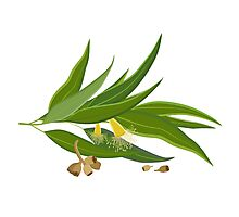 Eucalyptus twig with leaves, flowers and seeds Photographic Print