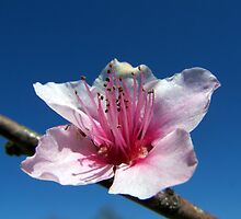 peach tree blossom by tomcat2170