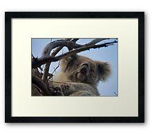 Koala up a tree A Framed Print