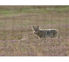 Coyote's Cunning Smile Photographic Print