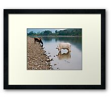 Cows, river Huallaga, Tarapoto, Peru Framed Print