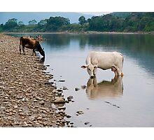 Cows, river Huallaga, Tarapoto, Peru Photographic Print