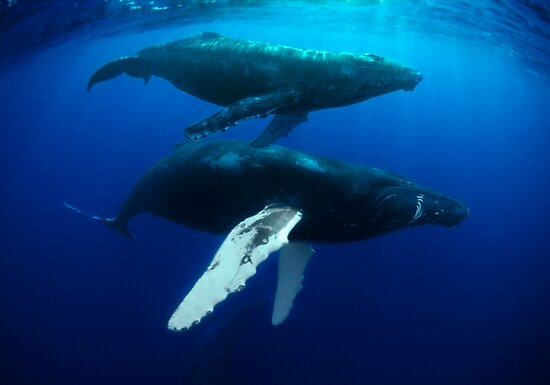 Baby humpback whales - photo#6