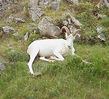 Dall sheep in Denali Park by Crafter67