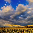 Sunflowers field under the storm light by Patrick Morand
