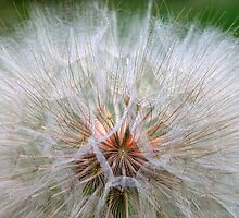 Dandelion Time by Dan Cluff