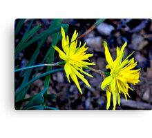 Spiky Daffodils.  Canvas Print
