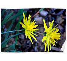 Spiky Daffodils.  Poster