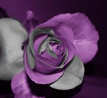 Rose by khadhy