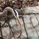 Great Blue Heron hunting by Josef Pittner