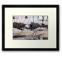 A Great Blue Heron fishing Framed Print