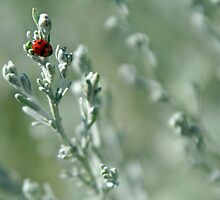 Ladybird on Sea Wormwood by Stefanie Köppler