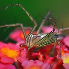 Lynx Spider at Attention by Aaron Murgatroyd
