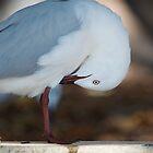 Seagull Busselton Beach Western Australia by lightphotos