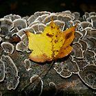 fallen leaf by kellymunky