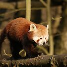 Red Panda by Mooguk