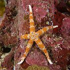 Egyptian Sea Star by Andrew Trevor-Jones